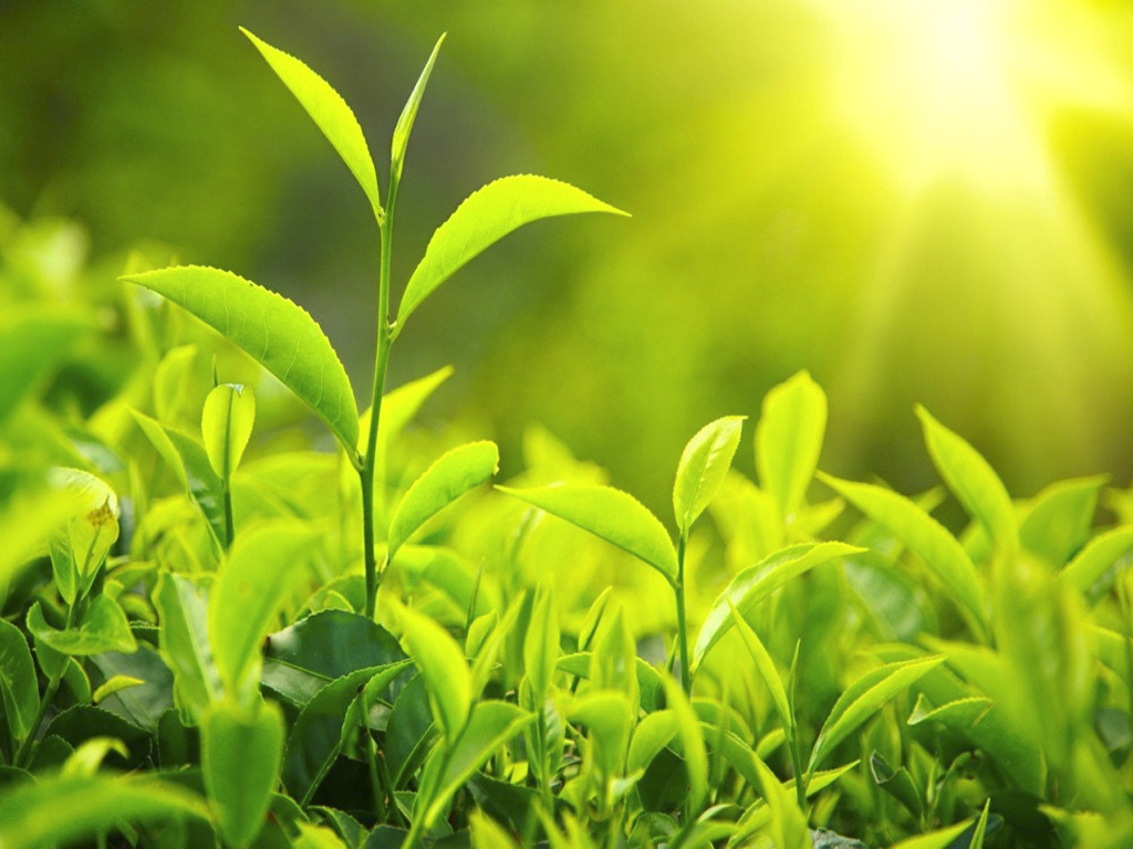 Is there caffeine in green tea?
